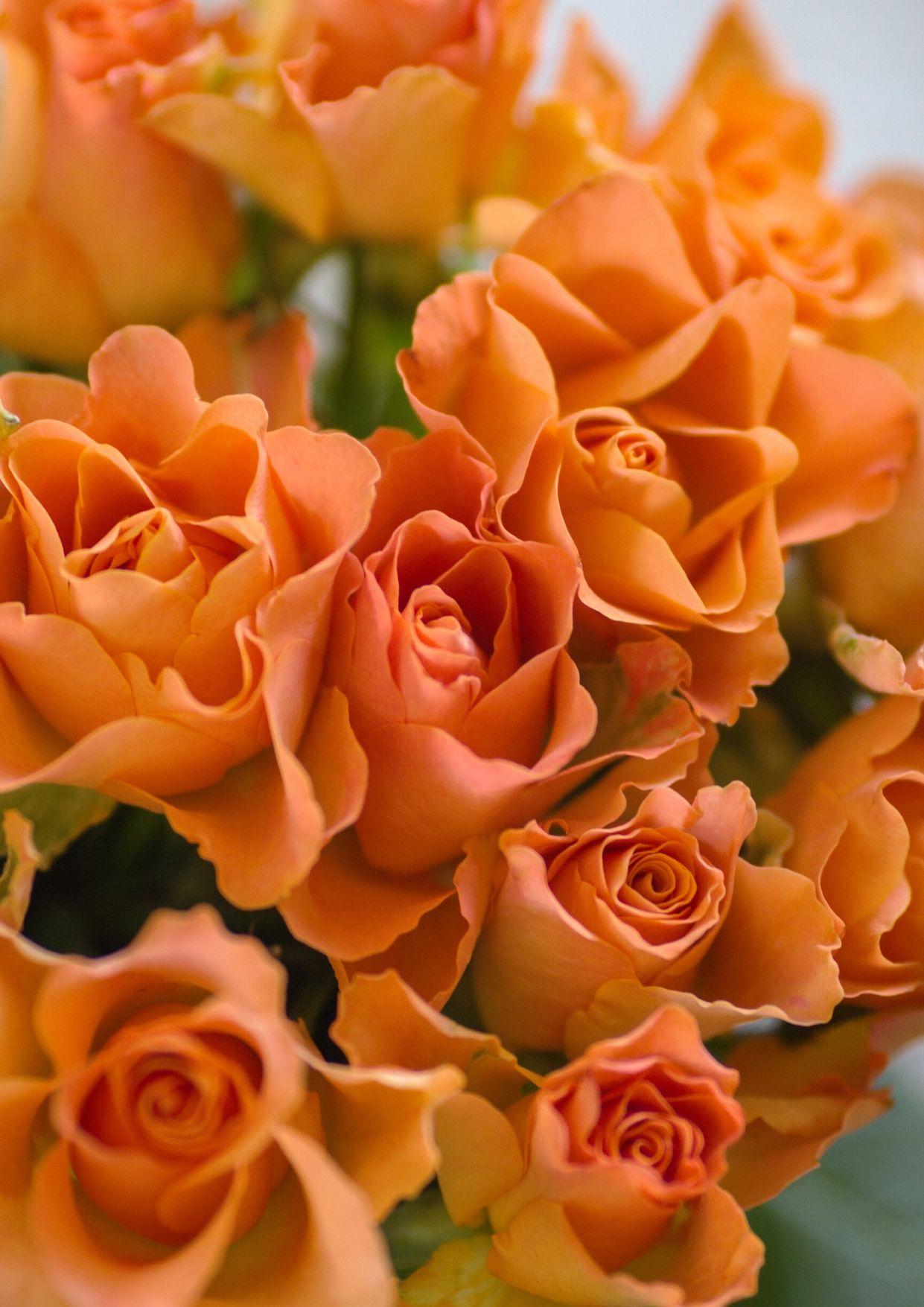 نتيجة بحث الصور عن وردة برتقالية